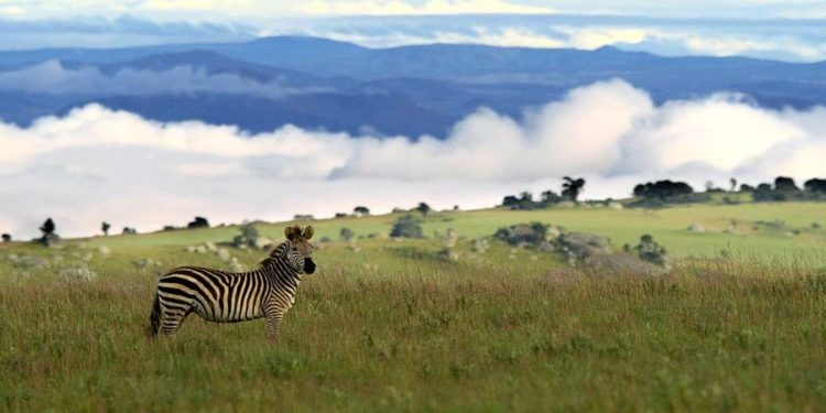 Zebra at nyika plateau national park malawi
